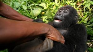 gorillavirguna